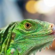 Iguana eye — Stock Photo