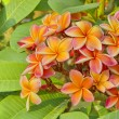 Orange Frangipani flower — Stock Photo