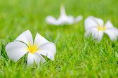 Frangipani or Plumeria flower — Stock Photo