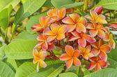 Orange Frangipani flower — Stock Photo
