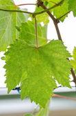 Groene druivenbladeren — Stockfoto