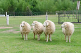 Sheep in sheep farm — Stock Photo
