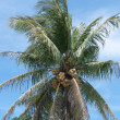Yellow coconut tree — Stock Photo #27634329
