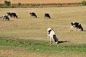 Kor på fältet — Stockfoto