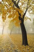Autumn Maple Tree — Stock Photo