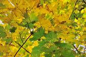 Sonbaharda akçaağaç yaprakları — Stok fotoğraf