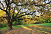 Oak Tree in Park — Stock Photo