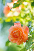Rosa in Garden — Stock Photo