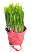 Green wheat grass — Stock Photo