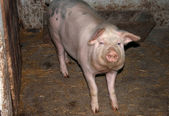 A pig — Stock Photo