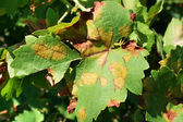 Grape leaf disease — Stock Photo