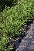 Decorative plants — Stock Photo