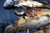 Gegrilde forel vissen — Stockfoto