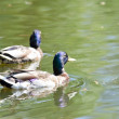 Two wild duck on the lake — Stock Photo #19484517