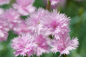 Little pink flower — Stock Photo
