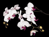 White orchid background — Stock Photo