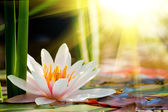 Water lily background — Stock Photo