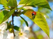 Cherry flower background — Stock Photo