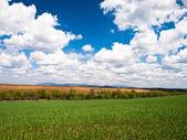 Corn field background — Stock Photo