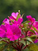 Belle fleur rose — Photo