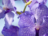 Blue orchids — Stock Photo