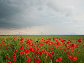 Poppy field background — Stockfoto