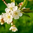 Cherry flower background — Stock Photo