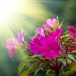 Beautiful pink flower — Stock Photo