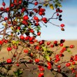 Stock Photo: Rose hip