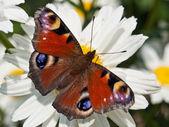 Çiçek kelebek — Stok fotoğraf