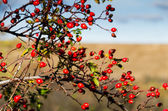 Rose hip and blue sky — Stok fotoğraf