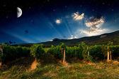 Grape field — Stock Photo