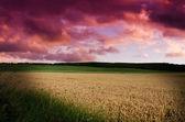 Wheat in the nigh — Stock Photo