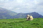 Cow in alpine meadows — Stock Photo