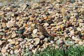 Sparrow near the water on the pebbles — Stock Photo