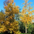 Autumn tree — Stock Photo #15702423