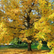 Autumn tree — Stock Photo #15703127