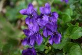 Violets — Stock Photo