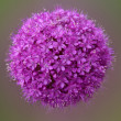 Purple garlic flowers — Stock Photo