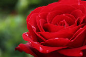 Red rose with drops of dew — Stock Photo