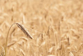 Stock Photo golden wheat field — Stock Photo