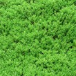 Bush close up texture — 图库照片