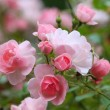 Stock Photo: Roses in garden
