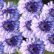 Stock Photo: Blue flowers background