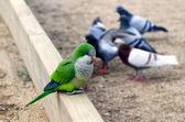Papagaio e pombos em barcelona, Espanha — Fotografia Stock