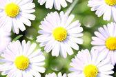 Sunny heřmánek květiny close-up — Stock fotografie
