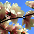 Blooming spring tree branches of magnolia — Lizenzfreies Foto