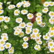 Beautiful white chamomile in the garden — Stock Photo