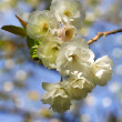 Stock Photo: Blooming spring tree branch