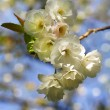 Blooming spring tree branch — Stock Photo